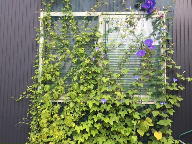 7月末のグリーンカーテン